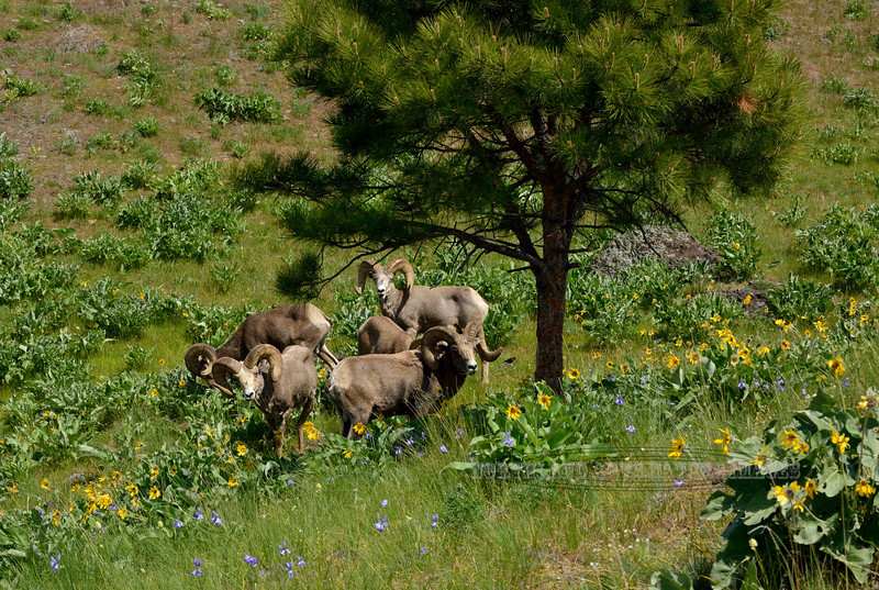 SBHRM-2015.5.17#073. Rocky Mountain Bighorn rams. High in a mountain meadow grazing on Arrowleaf Balsamroot. Montana.
