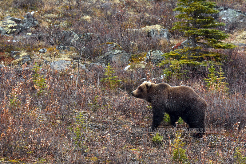Alaska interior Grizzly bear. Alaska Range, Alaska. #923.601. 2x3 ratio format.