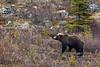 BG-2014.9.23#601. Savage Canyon, Denali Park Alaska.