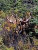 Moose, Alaskan. A nice Alaska bull shedding velvet. Alaska Range, Alaska. #831.029. 3x4 ratio format.