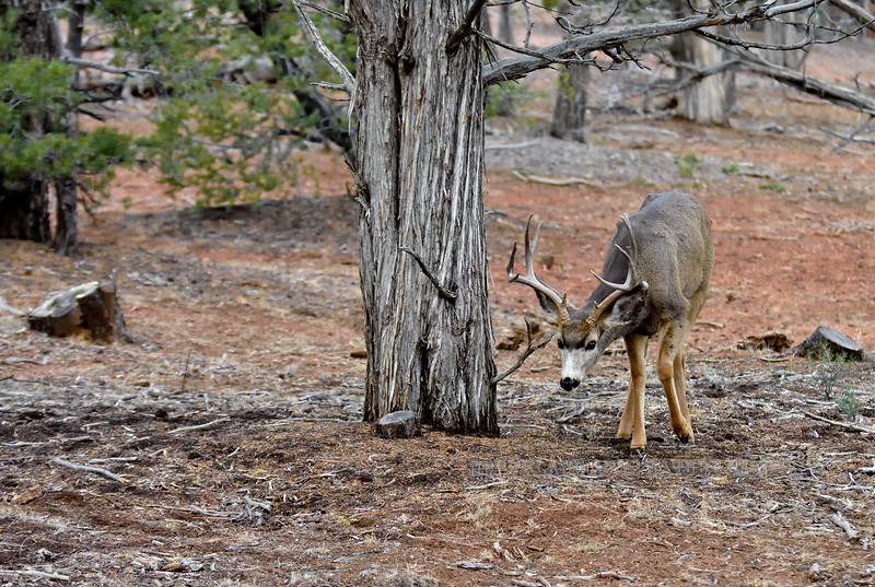 DM-2018.1.16#206.2. A nice Muley buck browsing and grazing on Juniper berries. Kaibab Forest Arizona.