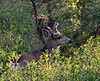 DM-2015.5.19#794. A Mule Deer Buck. A very poor image for pushing the ISO, but only got one chance before this strange nontypical bounded into the forest. Near Radium, British Columbia Canada.
