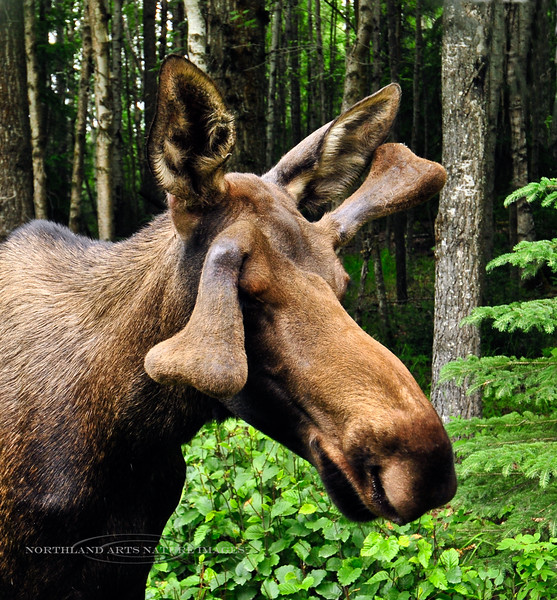 A young Alaska bull moose. A bull with a goofy droopy antler. I can only guess was from an injury. Near Anchorage,Alaska. #723.046. 1x1 ratio format.