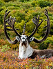 A great Barren Ground Caribou bull. Alaska Range, Alaska. #821.061. 3x4 ratio format.