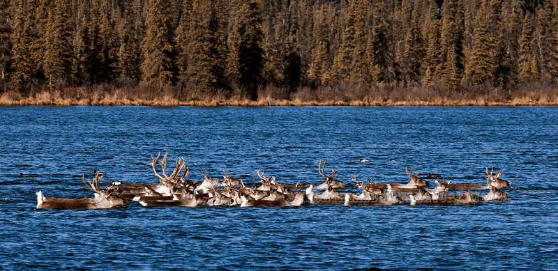 C-2011.10.10#148. Barren Ground Caribou. Caribou are good swimmers and often cross large lakes when migrating to thier wintering areas. Eastern Alaska Range, Alaska.