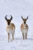 AP-2019.2.24#112. Pronghorn Antelope. Yavapai County Arizona.