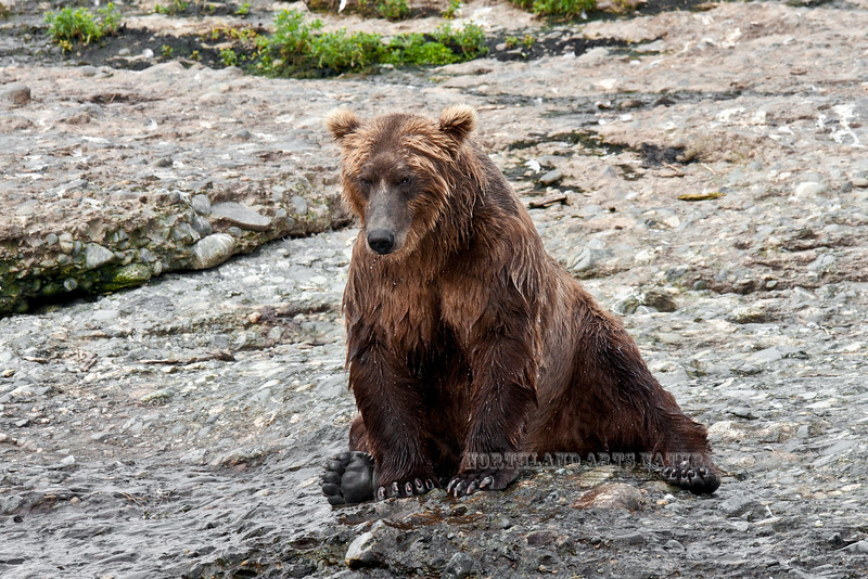 BBR-2010.8.12#053. Brown Bear at McNeil River falls, Alaska.