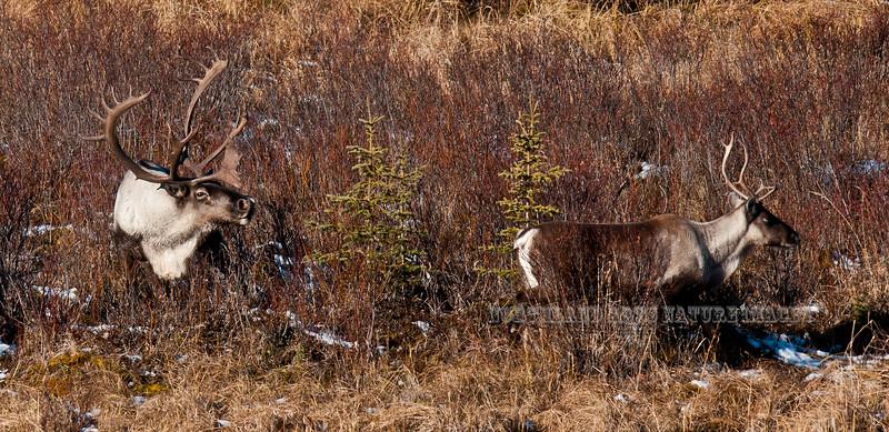 C-2011.10.11#053. Barren Ground Caribou. A bull follows a cow that is close to estrus. Denali country, Alaska Range, Alaska.