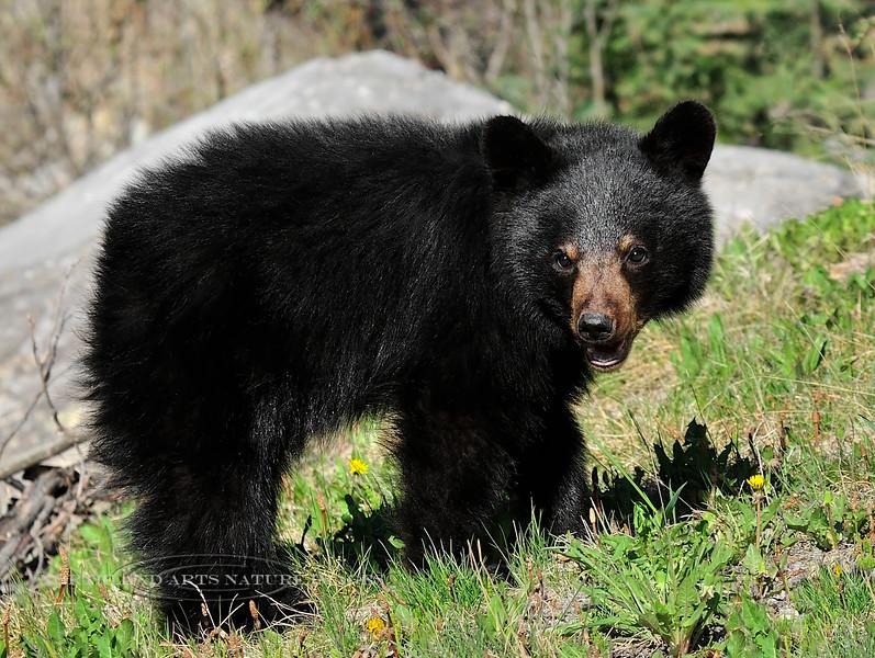 "Bear,Black. ""Springer"" Cub. Rocky Mountains. #521.015. 3x4 ratio format."