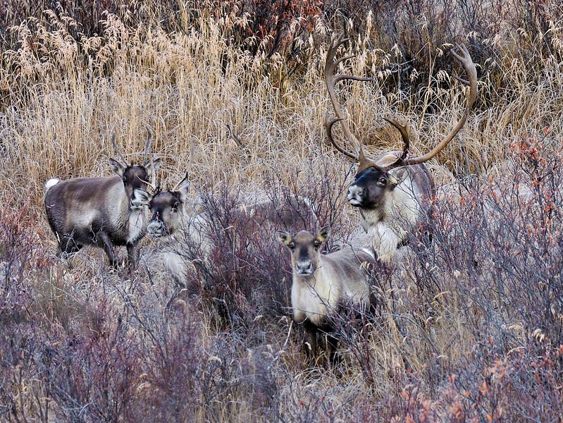 C-2011.10.5-007.3. A bull caribou tending cows during the estrus period. Denali Country, Eastern Alaska Range Alaska.