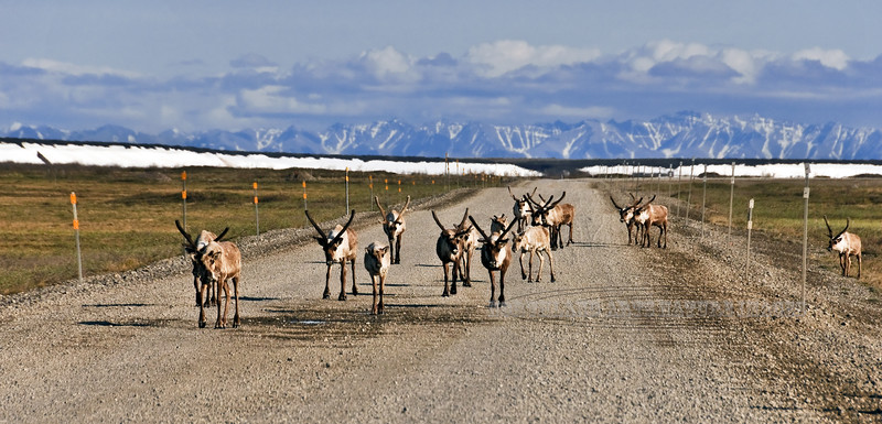 "Barren Ground Caribou moving to the summer grounds cross the ""Haul Road"" with the Brooks Range in the background. Coastal plain of the North Slope, Alaska. #611.142. 1x2 ratio format."