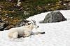 GM-2012.7.18#065. Mountain Goat. Chugach Mtn's, Alaska.