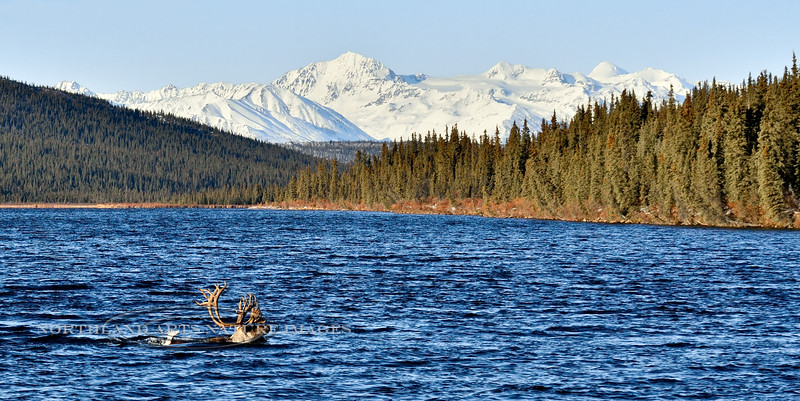 A really handsome bull caribou on the fall migration. Alaska. #1015.180. 1x2 ratio format.