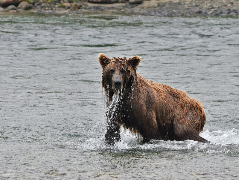 A brown bear that is snorkeling for salmon. McNeil River, Alaska. #813.181. 3x4 ratio format.