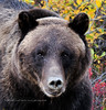 199-2011.8.30#005.4. A portrait of a grizzly I was familiar with for a number of years. Denali Park Alaska.
