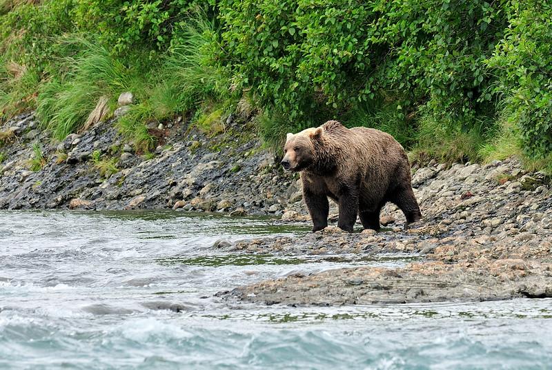 BBR-2010.8.12#186. A Brown Bear fishing upsteam of Enders Island, McNeil River, Alaska.