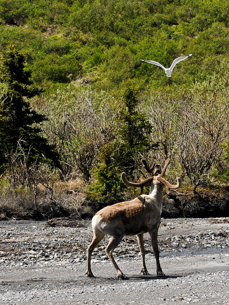 A Barren Ground Caribou is being attacked by a Mew Gull trying to chase it from the vicinity of it's nest. Alaska Range, Alaska. #615.108. 3x4 ratio format.