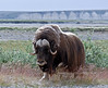 MO-2007.8.5#850. A good mature bull Muskox. A dark windy day again on the coastal Plain of the north Slope Alaska.