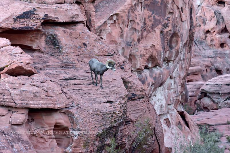 421-2018.12.12#349. Desert Bighorn Sheep.
