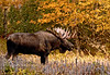 Large bull moose on a rut walk searching for cows. A bull I knew for many years by his lopped off left ear. Anchorage, Alaska. #103.034. 2x3 ratio format.