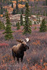 "M-2013.9.17#091. A small bull moose out on a ""rut"" walk. Estrus hasn't started yet, but is close. He will have to work harder then a large bull locating some cows for himself. Near mile eight, Denali Park Alaska."
