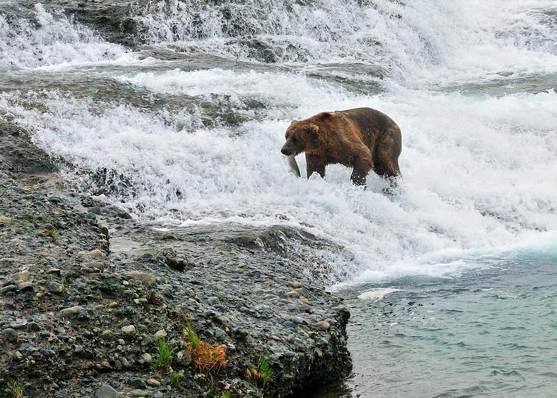 BBR-2010.8.13#067.2. An average large bear with a salmon it has caught  fishing the McNeil River Falls. Alaska Peninsula Alaska.