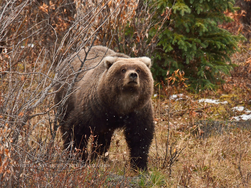 Alaska interior Grizzly bear. Alaska Range, Alaska. #923.488. 3x4 ratio format.