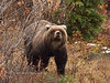 Alaska interior Grizzly bear. Alaska Range, Alaska. #923.488. 3x4 ratio format.