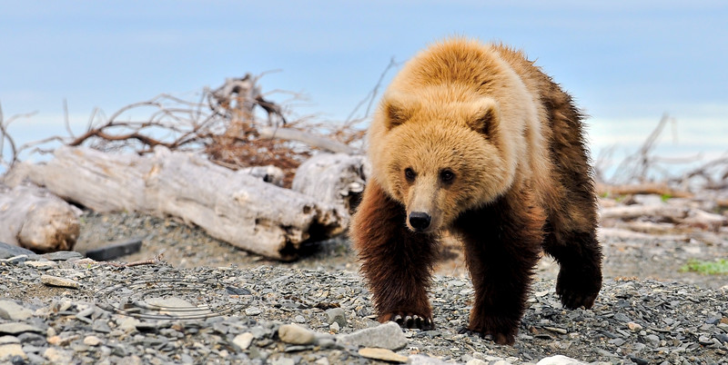A young Brown bear patrolling the mouth of McNeil River, Alaska. #811.102. 1x2 ratio format.