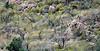 DC-2018.10.8#1330. Five Coues Whitetail bucks. Two really great bucks in the middle of the image are still in velvet. Arizona.