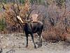 M-2015.9.15#040. Alaska Moose. Nine mile, Denali Park Alaska.