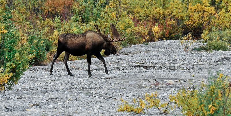 M-2009.8.28#121. The bull moose with velvet covered antlers leaves the cover of the heavy willows. He makes a brief appearance quickly crossing  this dry wash. Savage country, Denali Park Alaska.