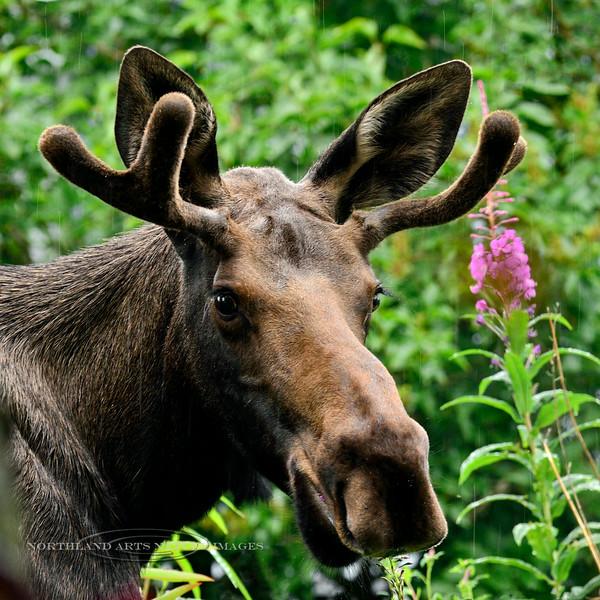 M-2014.7.24#016. Alaska moose. Highgate, Anchorage, Alaska.