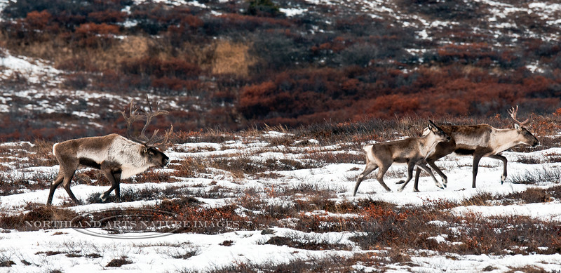 """C-2011.10.11#114. Barren Ground Caribou. A """"rutty"""" bull who in a previous year of competition has already lost his right eye and had his ear torn. Eastern Alaska Range, Alaska."""