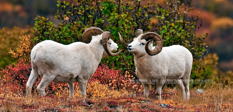 11-2009.9.16#200. A subordinate Dall ram postures challenging the dominant ram in this group. Primrose Ridge, Denali Park Alaska.
