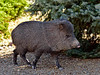 J-2018.5.12#057. Javelina. Also called Collared Peccary. Prescott Valley, Arizona.