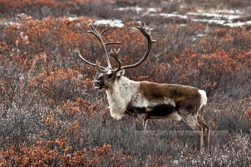 C-2011.10.11#155. Barren Ground Caribou. Denali country, Alaska.