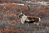 Barren Ground Caribou. Denali country,Alaska. #1011.155.
