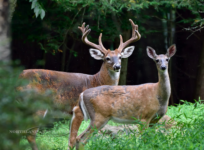 DW-2019.8.25#082.4X. A really good Whitetail buck and doe in the summer woods. Pennsylvania. Photo by Guy J.