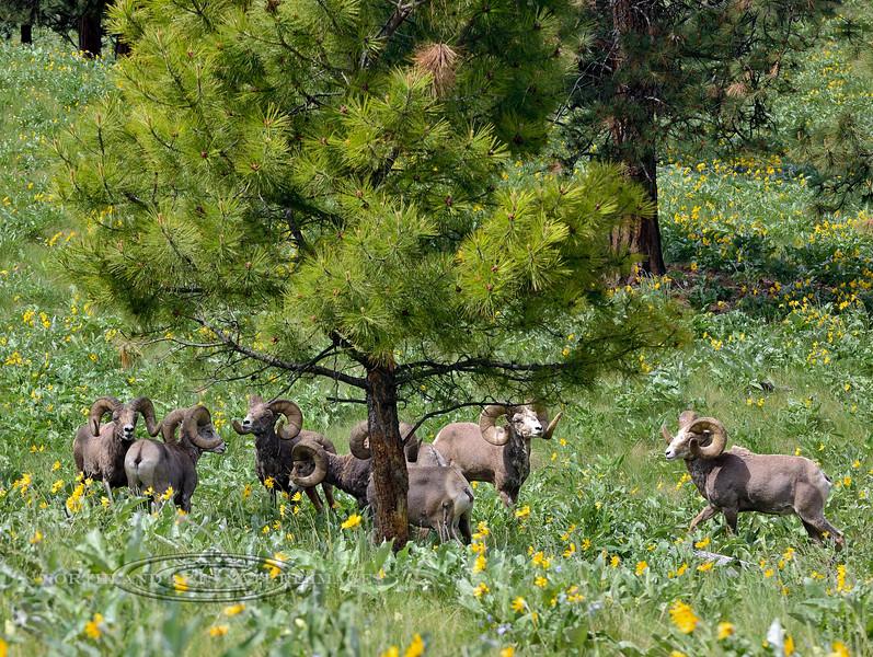 SBHRM-2015.5.17#026. Rocky Mountain Bighorn rams. Montana.