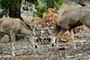 DM-2020.3.12#5351.3. Two mule deer bucks sparring. Coconino Forest Arizona. Photo by Guy J.