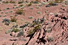 SBHD-2019.10.13#914.5. A group of Desert Bighorns have been spooked by something and are charging up a rocky hill right towards me. Lake Mead Nat. Rec area.