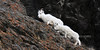 SD-2013.12.7#002-Dall Sheep, ewe and a yearling lamb. Chugach Mountains, Alaska.