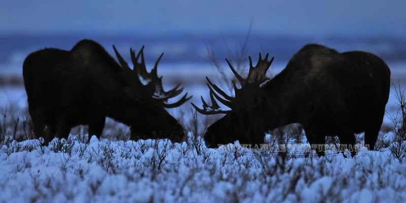 Two medium sized bull moose are feeding again post rut just before loosing their antlers. South Central Alaska. #124.078. 1x2 ratio format.