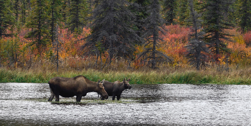 M-2013.9.10#104. A cow & calf moose have emerged from the taiga forest to graze on forbs in a tundra pond  just before dark. Alaska Range, Alaska.