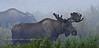 M-2012.8.14#194. Alaska Moose. Mile eight, Denali Park Alaska.