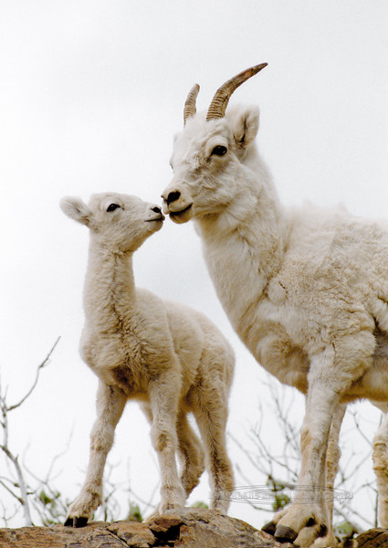 SD-1984.6#64.6. A Dall sheep lamb being cute with mom. Turnagain Arm Alaska.