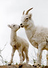 SD-1984.6#64.6. A Dall sheep lamb being cute with mom. Turnagain Arm Alaska.
