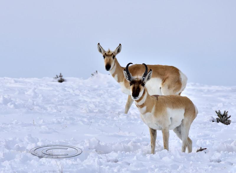 AP-2019.2.24#154. Pronghornn Antelope. Yavapai County Arizona.