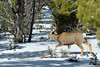 DM-2019.2.27#059. Mule Deer. Kaibab Forest Arizona.